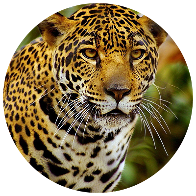 jaguar[1]