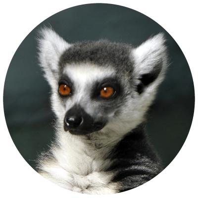 lemurul[1]