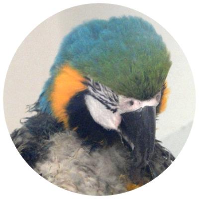 papagalul_ara
