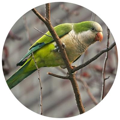 papagalul_calugar