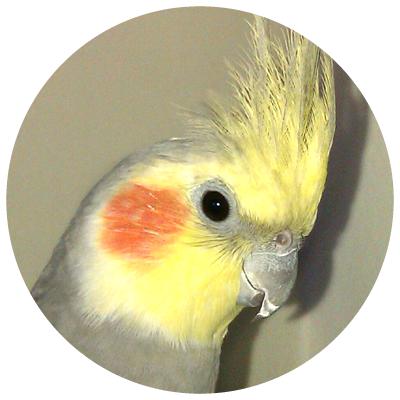 papagalul_nimfa