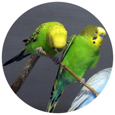 papagalul_perus