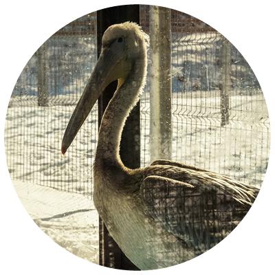 pelican[1]