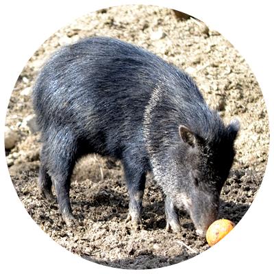 porcul_pecari[1]