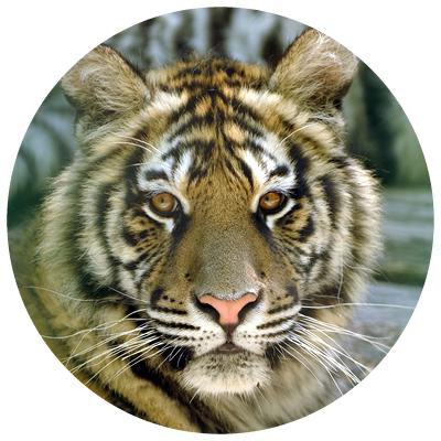 tigrul[1]